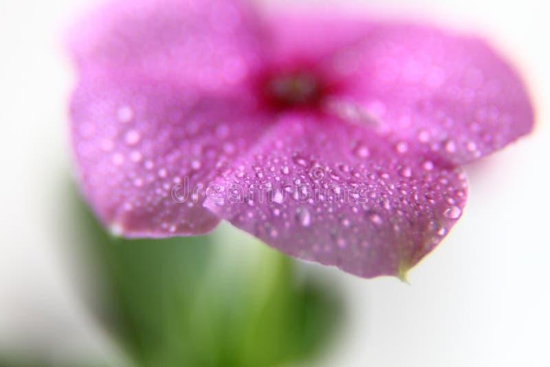 Violett vårblomma arkivfoto