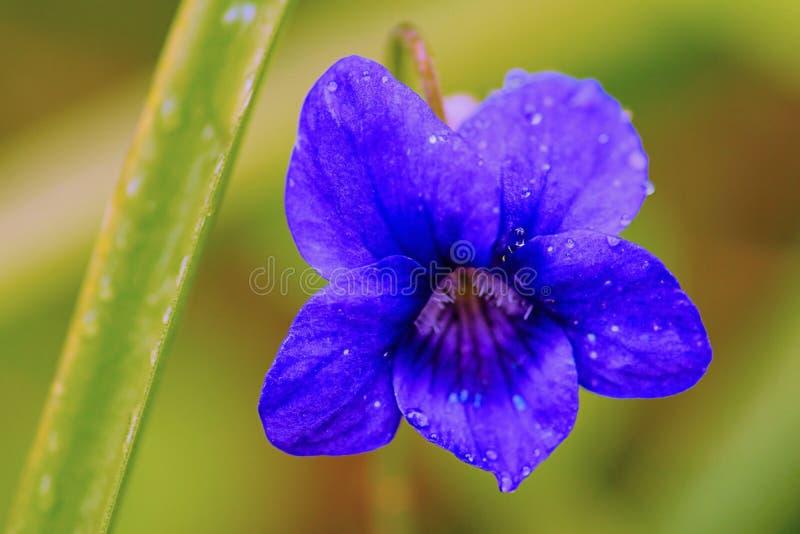 Violett - Viola Odorata - oavkortad blom f?r tr? i en skogsmarkinst?llning arkivbilder