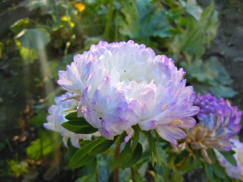 Violett-weiße Aster in den Strahlen der Morgensonne stockfoto