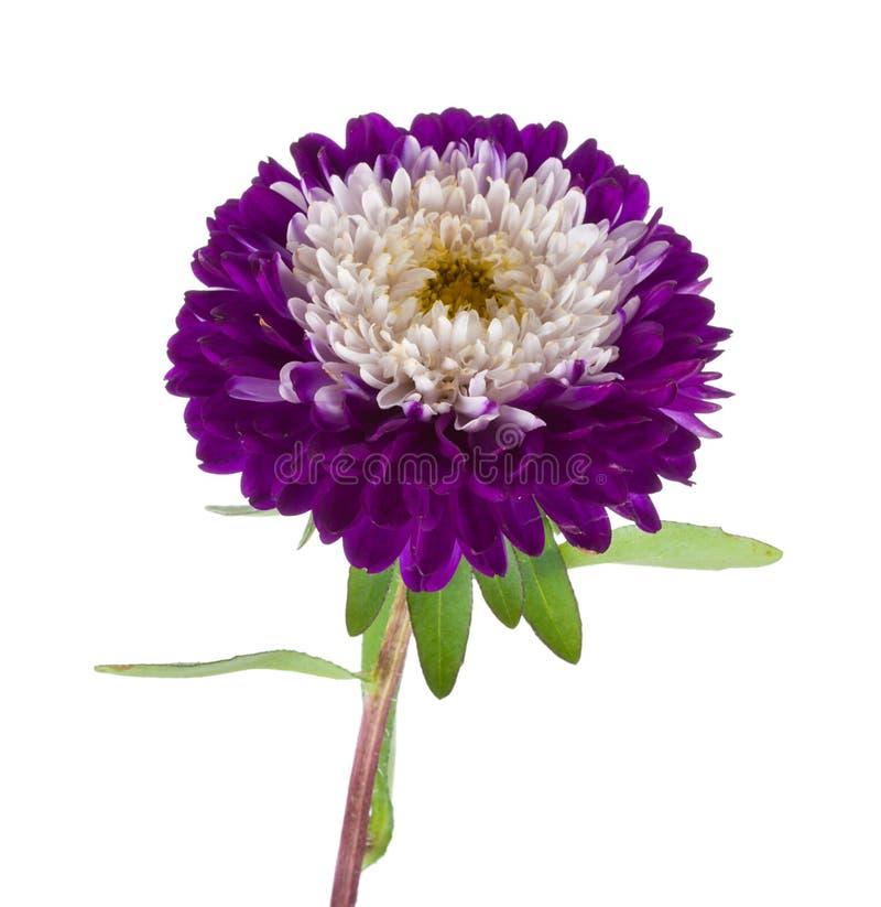 Violett-weiße Aster trennte lizenzfreie stockfotografie