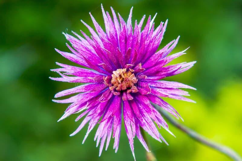 Violetta blommaväxter i trädgården över grön bakgrund royaltyfri foto