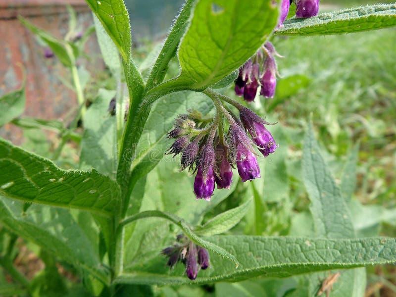 Violetta blommor av gemensam vallört eller riktig vallörtSymphytumofficinale, hal-rotar, kväkarevallört, kultiverad vallört arkivbild