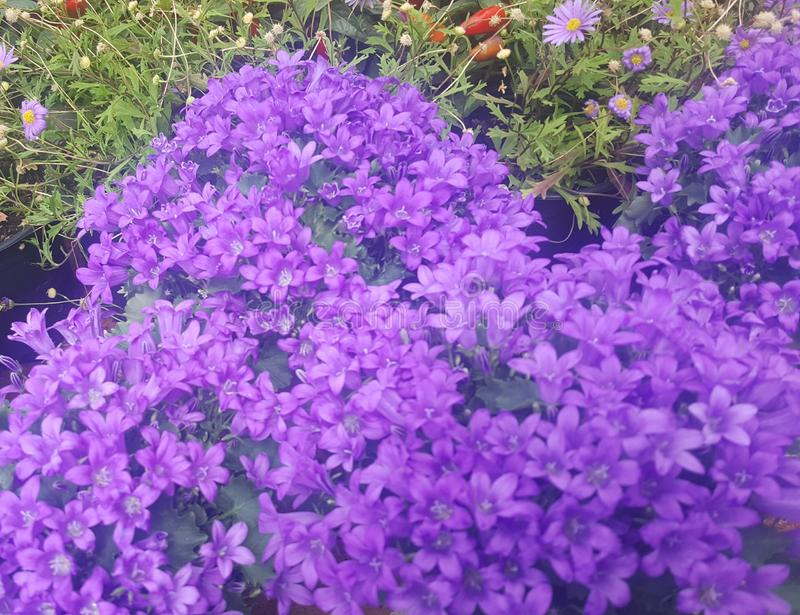 Violetta fantastiska blommor i trädgård royaltyfria bilder