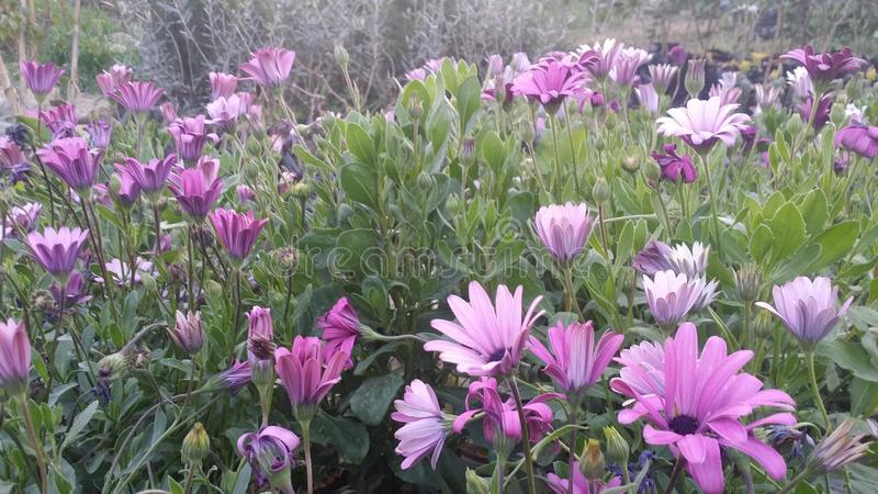violetta fleurs royaltyfri fotografi
