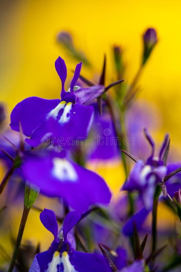 Violetta härliga blommor på en suddig naturlig guling-gräsplan bakgrund Närbild av purpurfärgade blommor i trädgården fotografering för bildbyråer