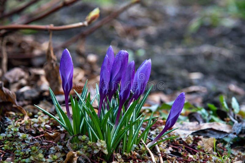 Violetta krokusblommor som blommas i skogen i den tidiga våren arkivfoto