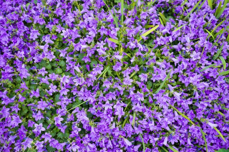 Violetta kulöra klockblommamuralisblommor som en bakgrund som växer i trädgården arkivbilder