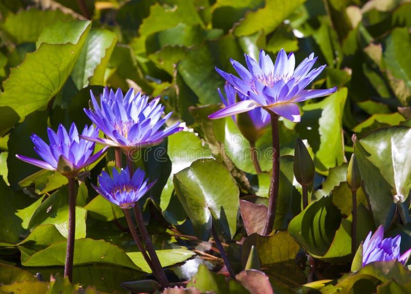 Violetta näckrors royaltyfri bild