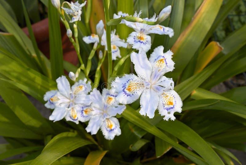 Violetta och orange blommor av irisjaponicaen royaltyfri fotografi