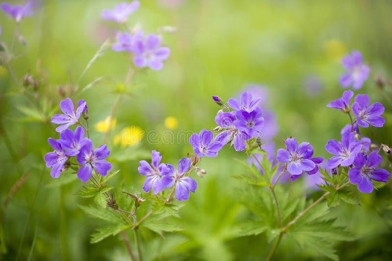 Violetta och purpurfärgade blommor för sommar, selektiv fokus, Norge arkivfoto