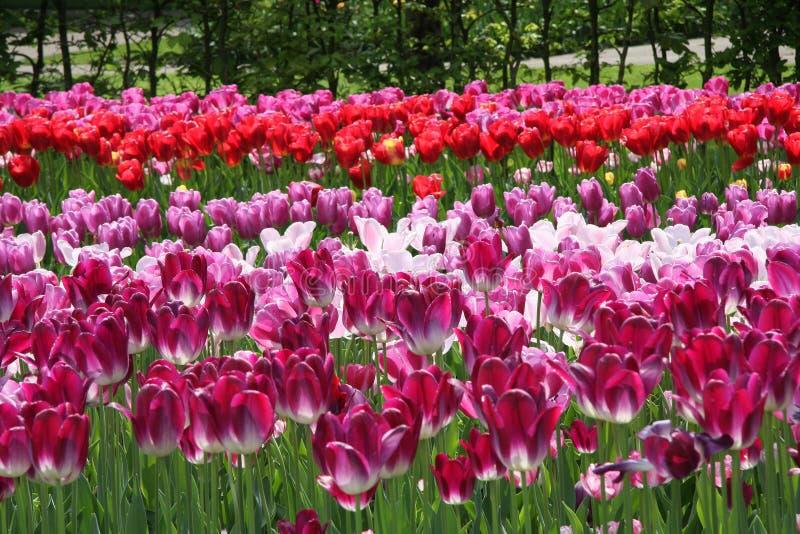 Violetta och r?da tulpan i blommaf?lt arkivfoton