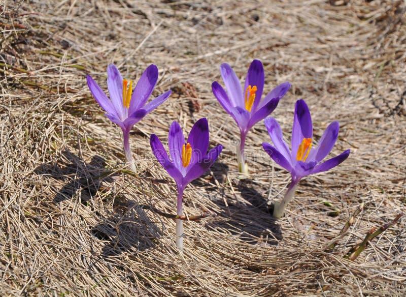 Violetta wild krokusblommor arkivbild