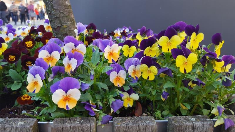 violette lizenzfreie stockbilder