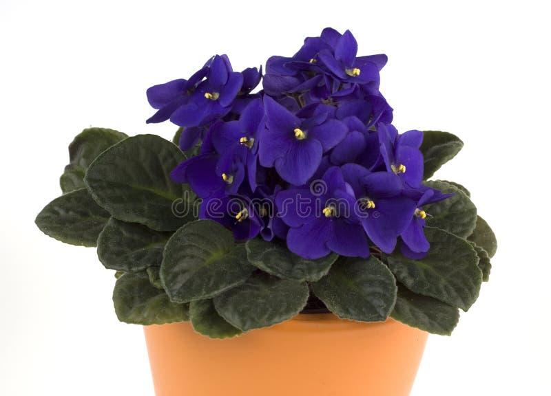 Violette africaine photo stock image du botanique floral for Violette africane
