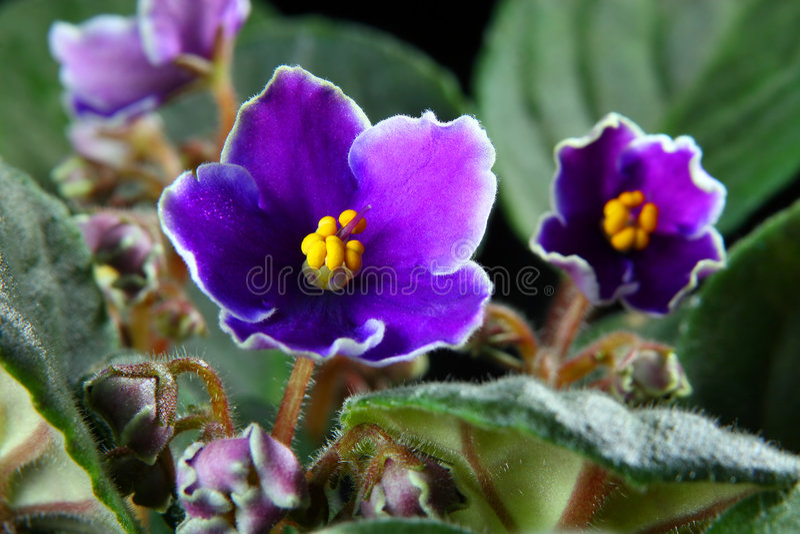 Violette africaine (Saintpaulia) images stock