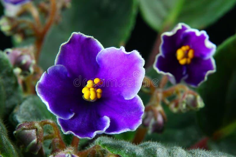 Violette africaine (Saintpaulia) photo stock