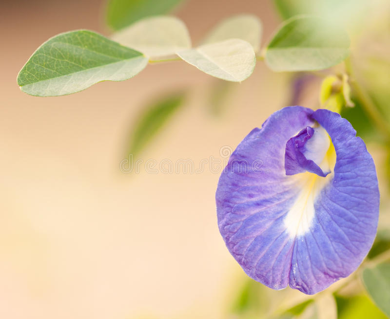 Violette asiatische pigeonwings Blume lizenzfreie stockbilder