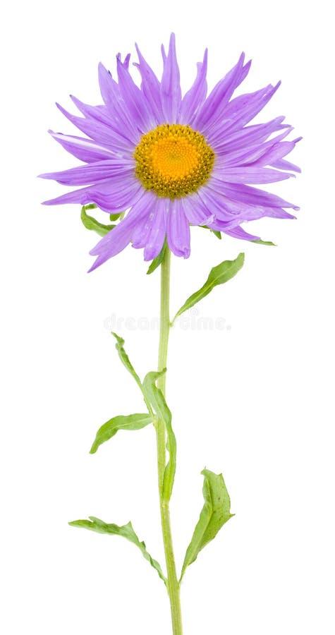 Violette Aster stockbilder