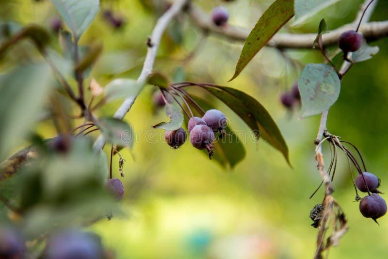 Violette Beeren im Frühjahr lizenzfreie stockfotos