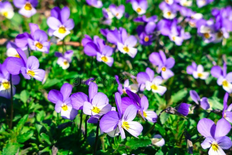 Download Violette bloem stock foto. Afbeelding bestaande uit sluit - 54084626