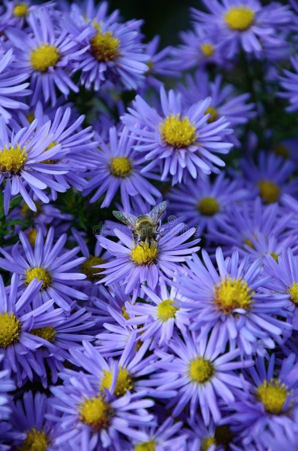 Violette bloem en bij stock fotografie
