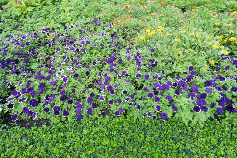 Violette bloemen in de tuin thuis stock foto's