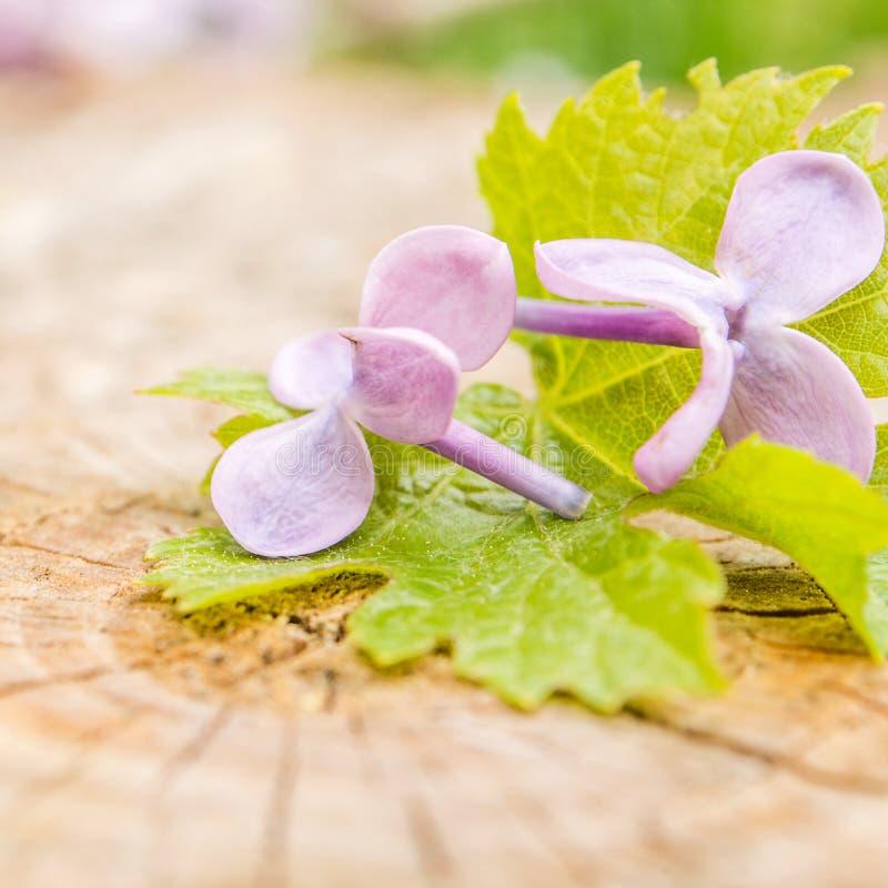 Violette bloemen met groen druivenblad op houten achtergrond royalty-vrije stock afbeelding