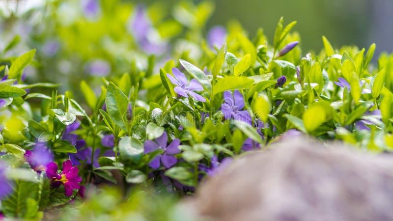 Violette bloemen met groene bladeren stock foto's