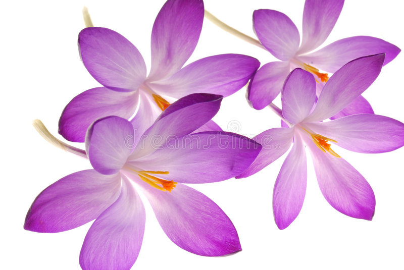 Violette bloemen op wit stock foto