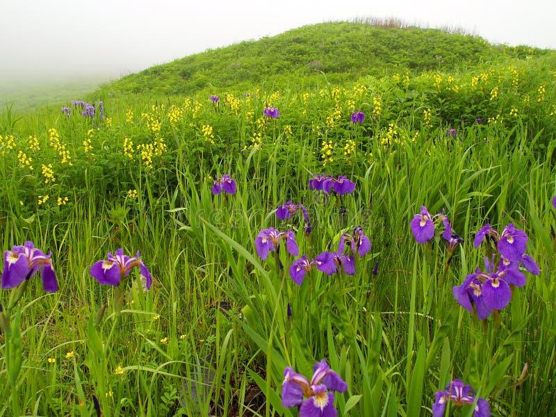 Violette bloemenweide   stock fotografie