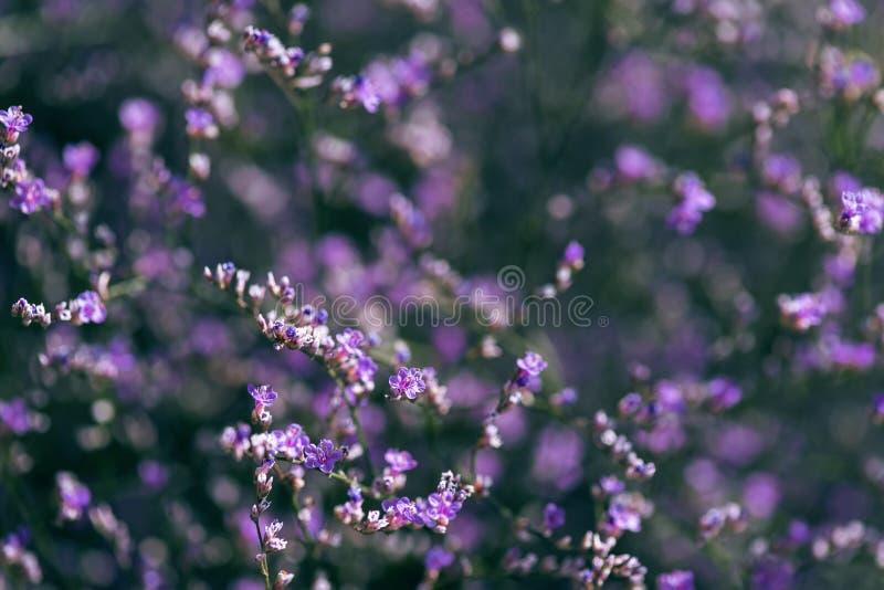 Violette Blume des Seelavendels in der Wiese stockbilder