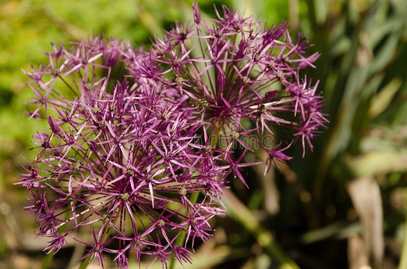 Violette Blume im Gras lizenzfreies stockfoto