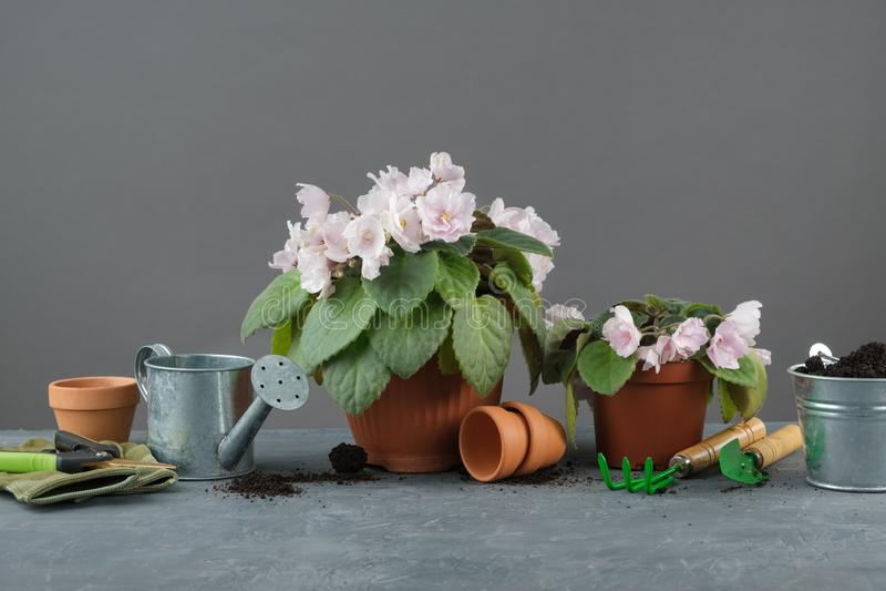 Violette Blumen des eingemachten Saintpaulia Pflanzen von eingemachten Blumen und von Werkzeugen für Blumentöpfe stockfoto