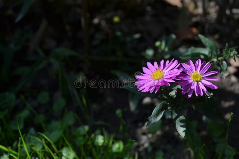 Violette Blumen im Garten lizenzfreie stockbilder