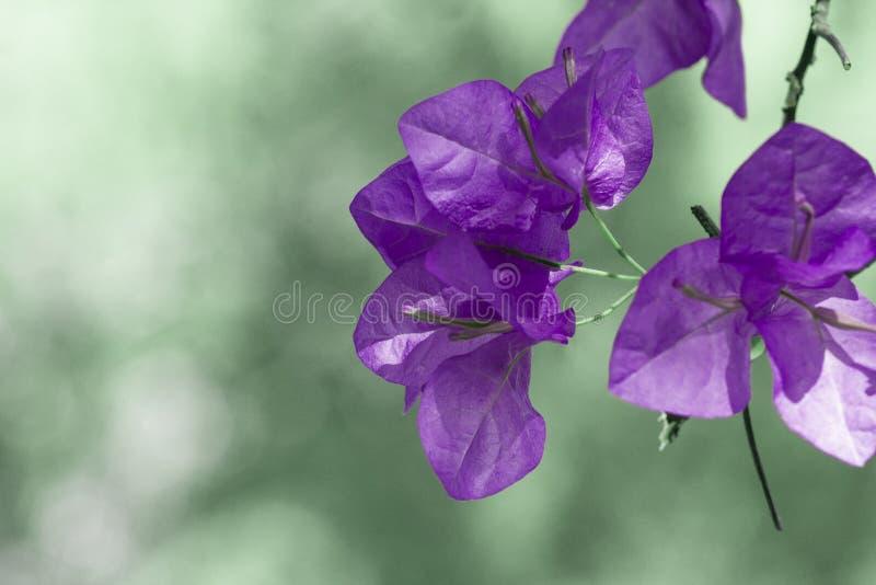 Violette Blumen verwischten Hintergrund lizenzfreie stockbilder
