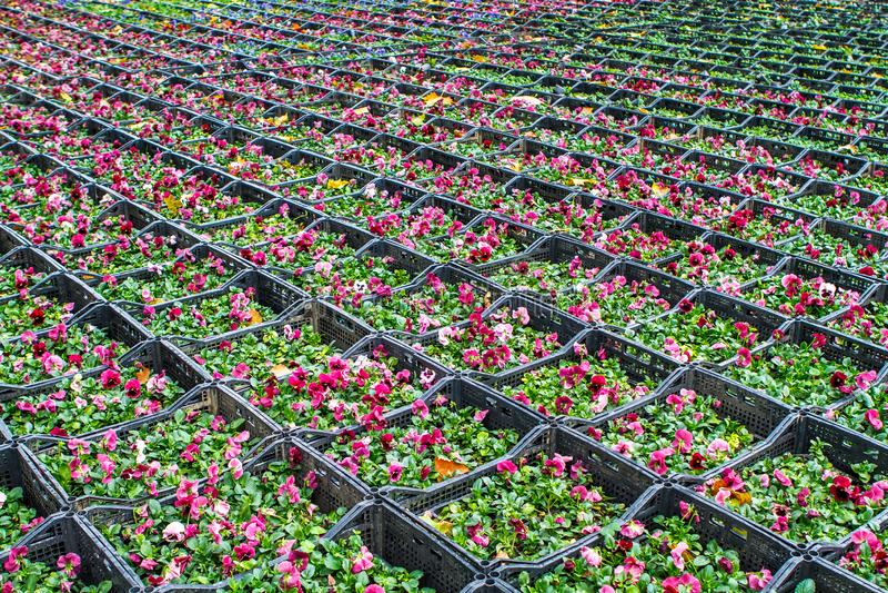 Violette Blumenkisten lizenzfreie stockfotos