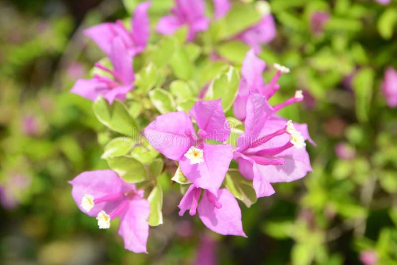 Violette bougainvillea royalty-vrije stock afbeeldingen