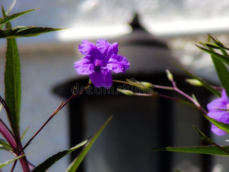 Violette dans le jardin photographie stock libre de droits