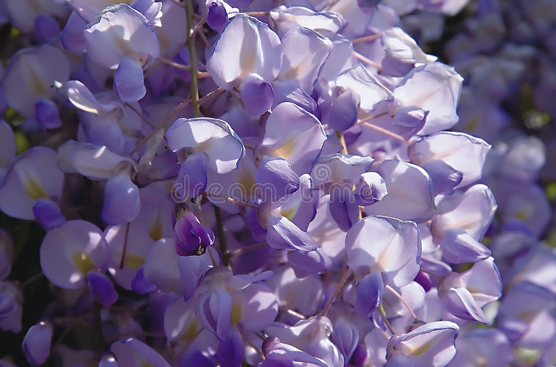 Violette de Glicine images stock
