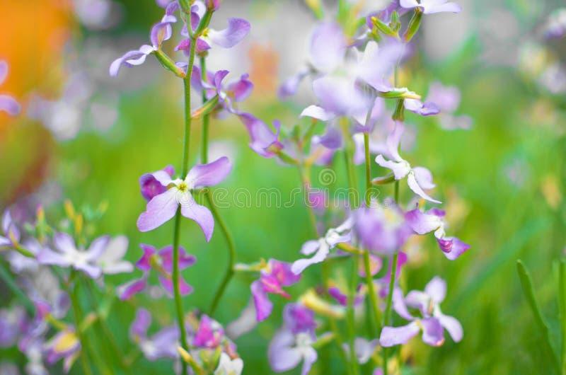 Violette de lente zachte achtergrond van nachtbloemen royalty-vrije stock afbeeldingen