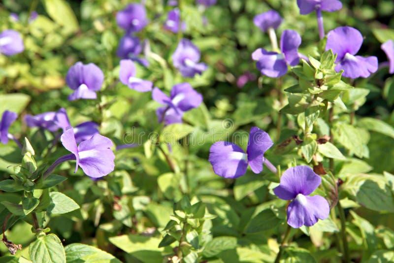 Violette de Rose Balsam. photographie stock