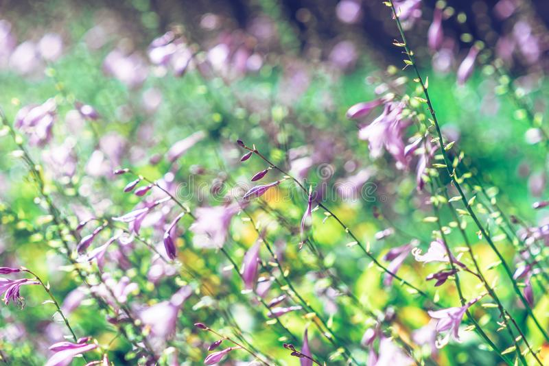 Violette dichte omhooggaande bloemen vage achtergrond royalty-vrije stock foto