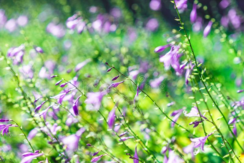 Violette dichte omhooggaande bloemen vage achtergrond stock afbeelding