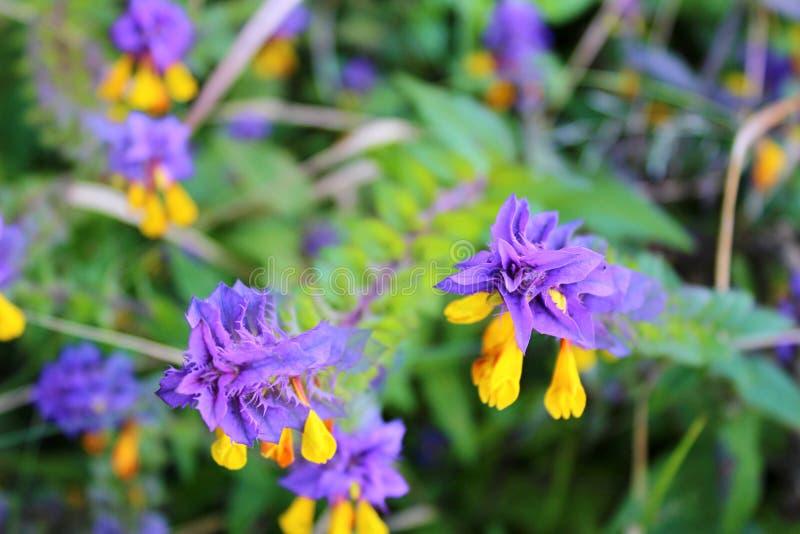 Violette en gele bloeiende bloemen stock foto's