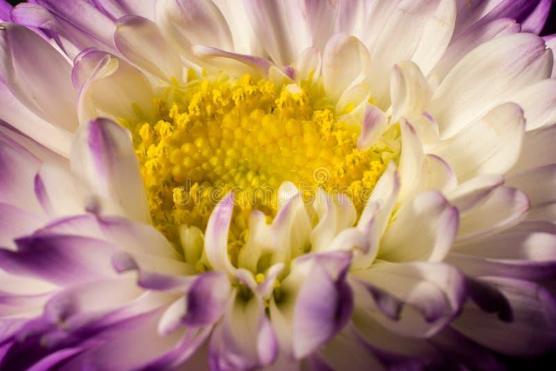 Violette en gele bloem royalty-vrije stock afbeelding