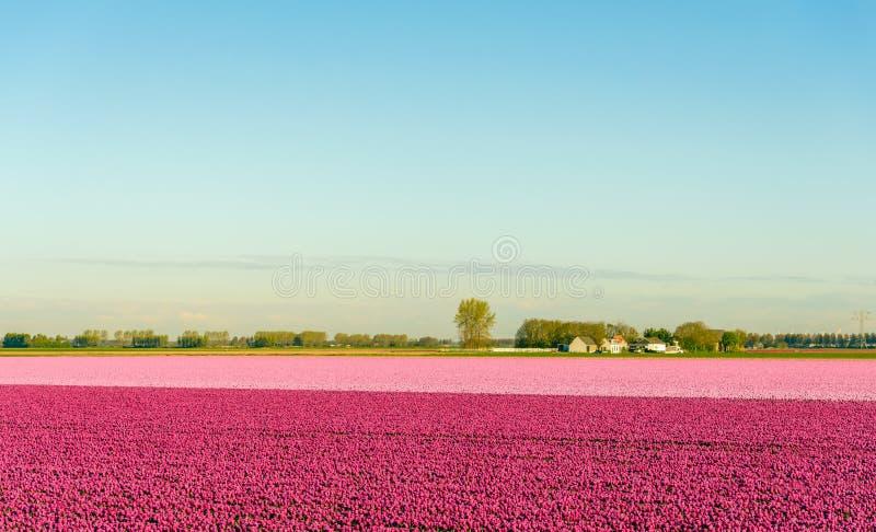 Violette en roze tulpen die in een landelijk landschap tot bloei komen stock fotografie