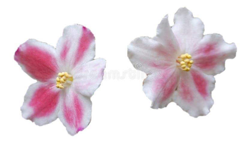 Violette faite maison de floraison sur un fond blanc illustration libre de droits