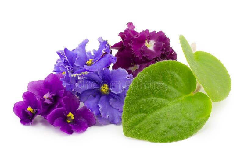 Violette, fleur images libres de droits