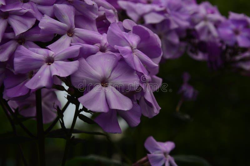 Violette flox stock afbeeldingen