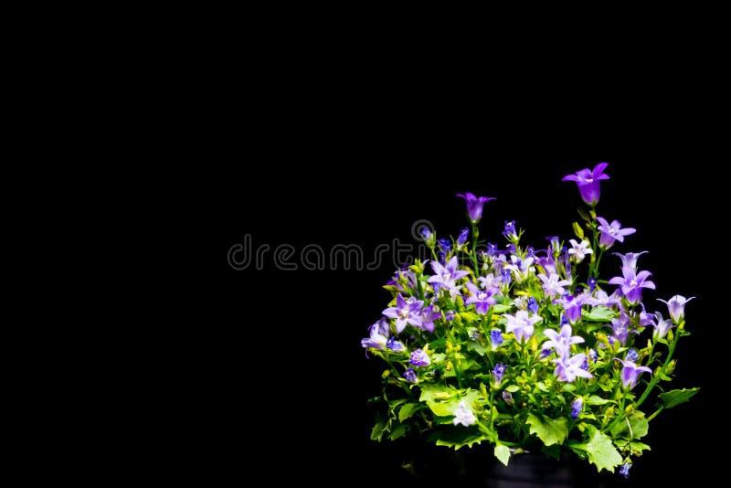 Violette Glockenblumen mit schwarzem Hintergrund lizenzfreies stockbild